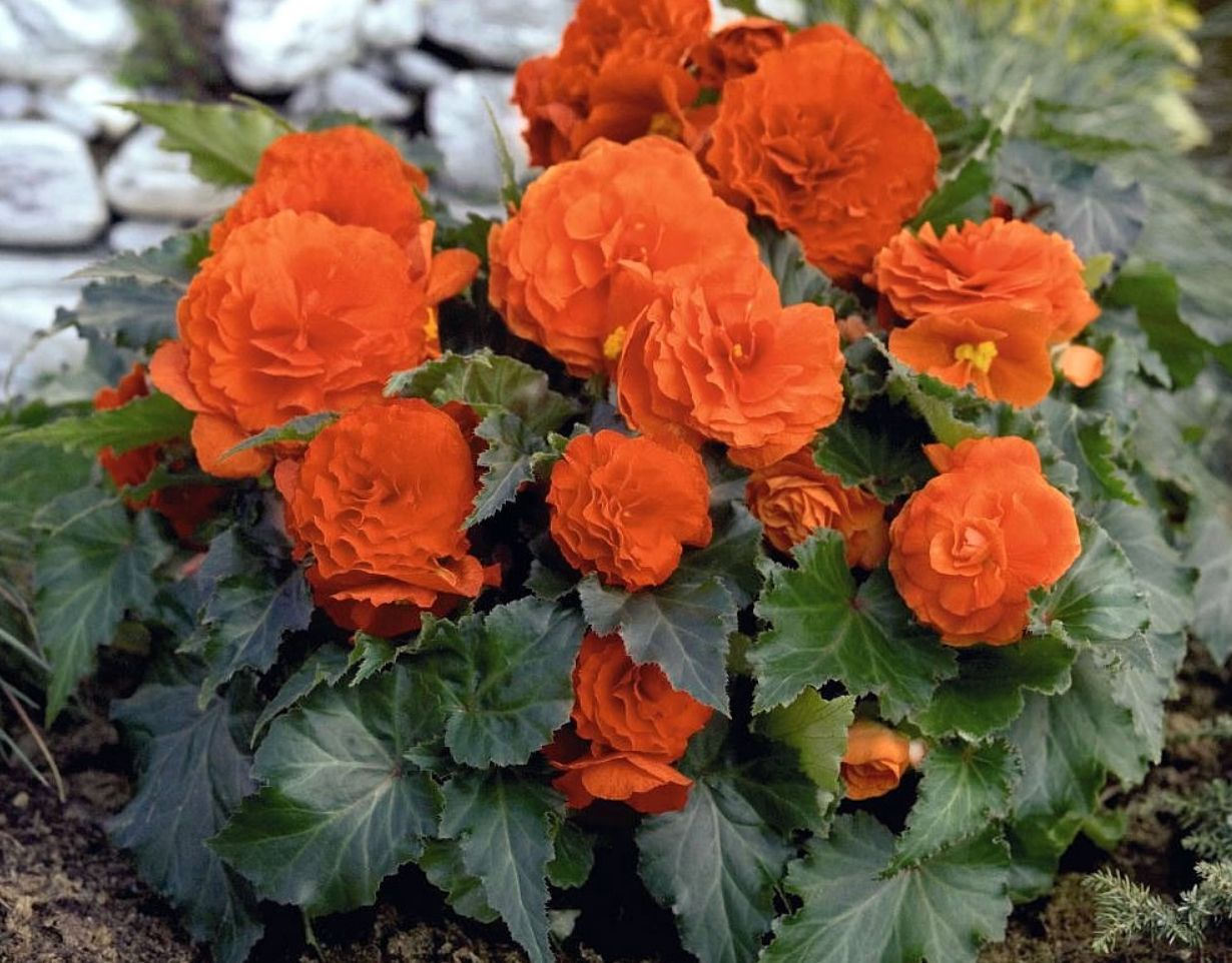 Common Name Tuberous Begonia Scientific Name Begonia Tuberhybrida Uses Garden Accents Season Early Spring To Late Fall Fu Flower Seeds Flowers Flower Pots