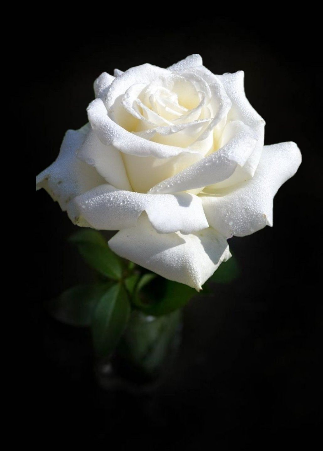 White Rose Guller Siyah Beyaz Fotografcilik