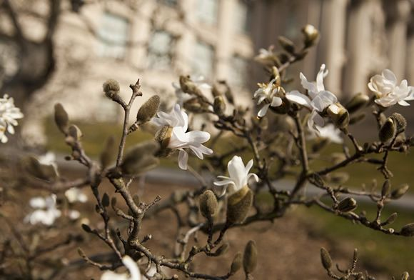 Magnolia stellata in front of the Library Building