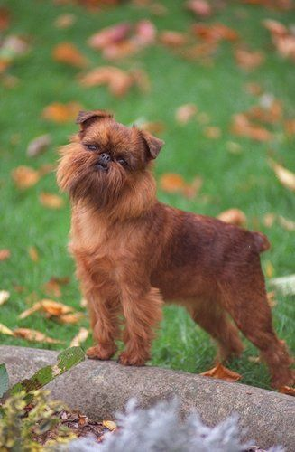Brussels Griffon Breed Of Toy Dog Named For Its City Of Origin Brussels Belgium It Is Known To Ha Brussels Griffon Puppies Brussels Griffon Griffon Dog