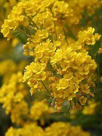 Cesto de ouro; Aurinia saxatilis, Álisso-amarelo, Colchão-dourado, Tufo-dourado
