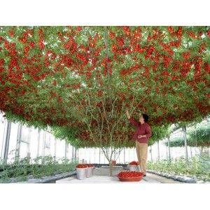 arvore de tomate italiano :: Italian tomato tree
