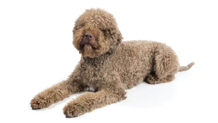 30 Small Hypoallergenic Dogs That Don T Shed Lagotto Romagnolo