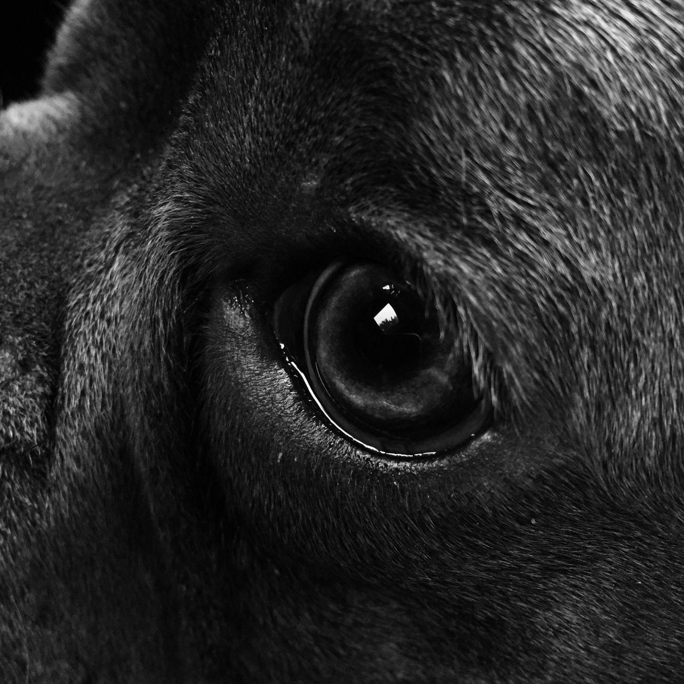 Puppy eye frenchie blue french bulldog edo edo pinterest blue