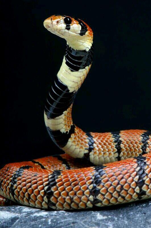 Cape coral snake - Aspidelaps lubricus | ❤°°• Wild & Wonderful IV ...