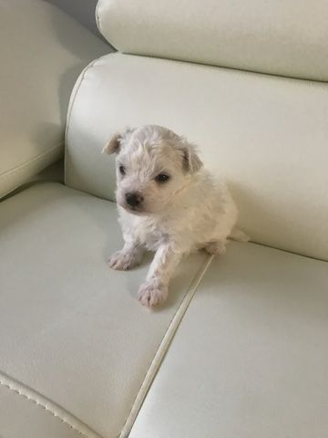 Litter Of 3 Maltese Puppies For Sale In Fairfax Va Adn 43733 On