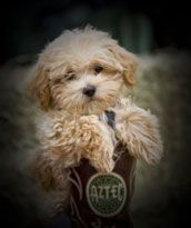 Maltipoo puppies are the best lap dogs around. They are a mix of a Maltese and Poodle. We only recommend F1 breeding with registered pure bred parents.     Most maltipoo's love to be held…still very playful!   Very smart puppies and learn quickly.  Average size 4 to 7 lbs.  To keep that cute puppy look we recommend the puppy cut.  They are non shedding and hypoallergenic.  Great puppy for elderly, kids, single people and families!  Travel well…