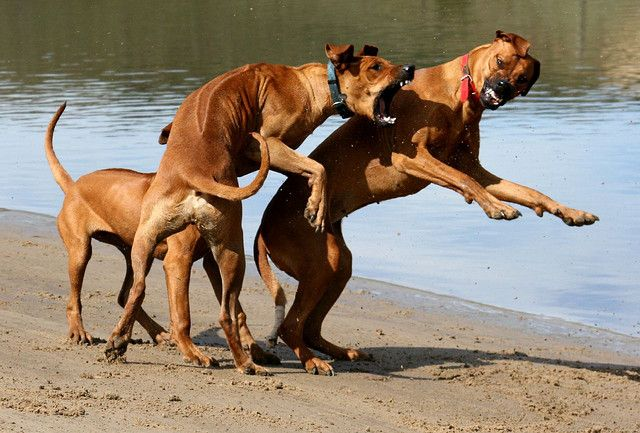 Rhodesian Ridgebacks at Play Big dog breeds, Rhodesian