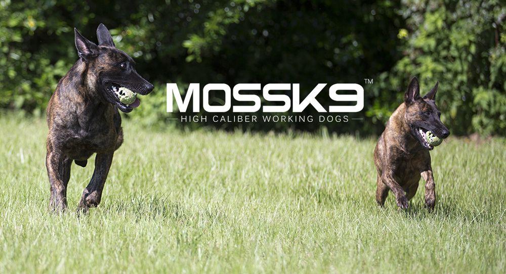 Dutch Shepherds mossk9 Malinois puppies, Working dogs