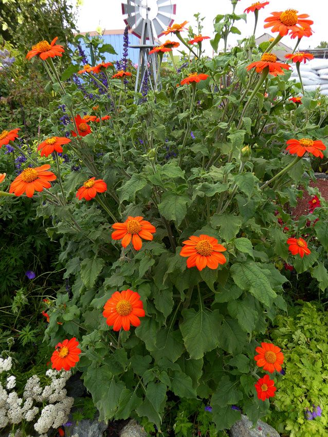 Tithonia Rotundifolia The Torch Titonia Tournesol Mexicain Red Sunflower Fire Into The Garden Tropical Landscaping Planting Flowers Mexican Sunflower