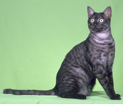 In Love With The Black Smoke Mau Egyptian Mau Black Smoke Cat Cats And Kittens
