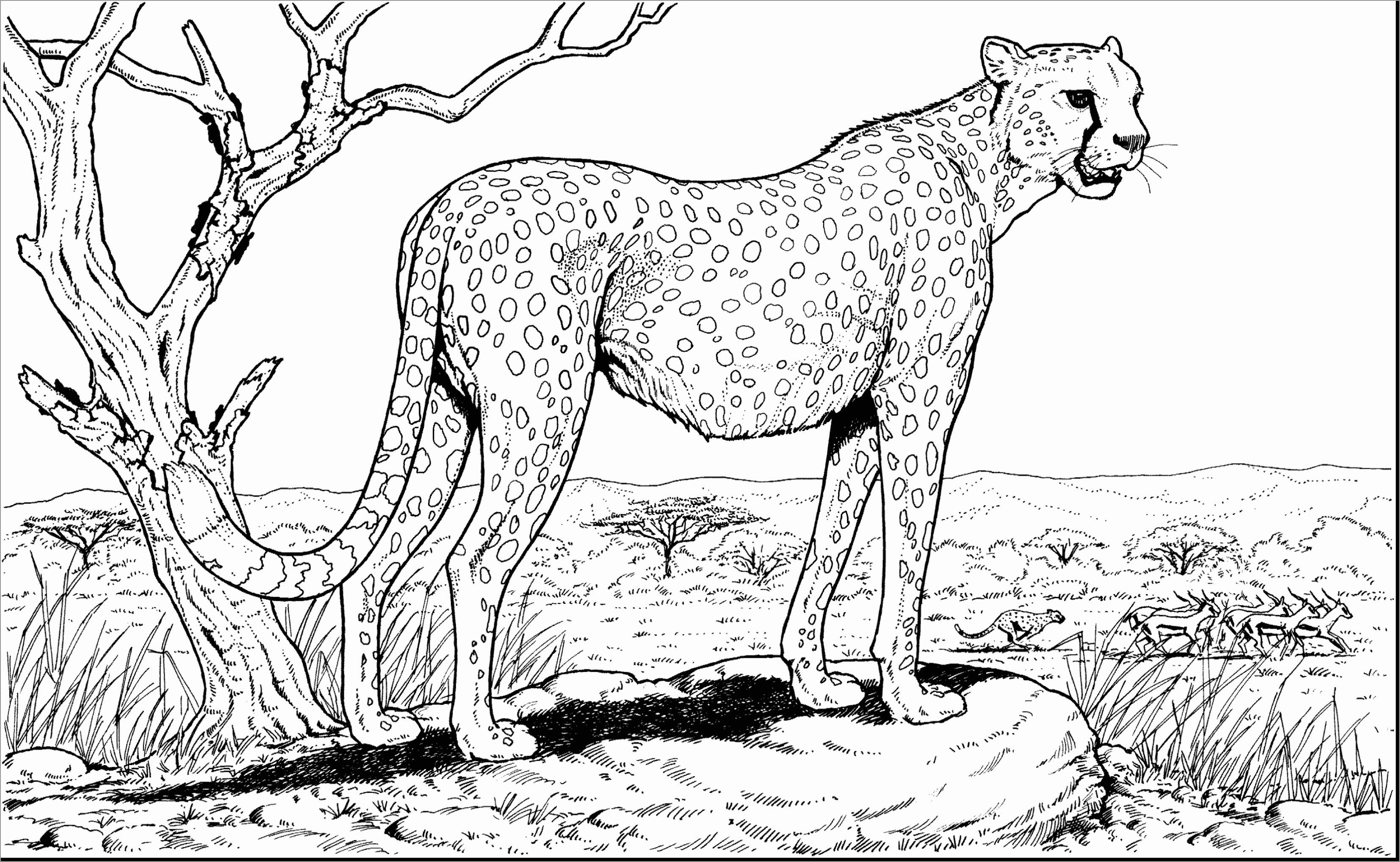 Perspective Cheetah Coloring Page In 2020 Coloring Pages Coloring Pages To Print Coloring Pictures
