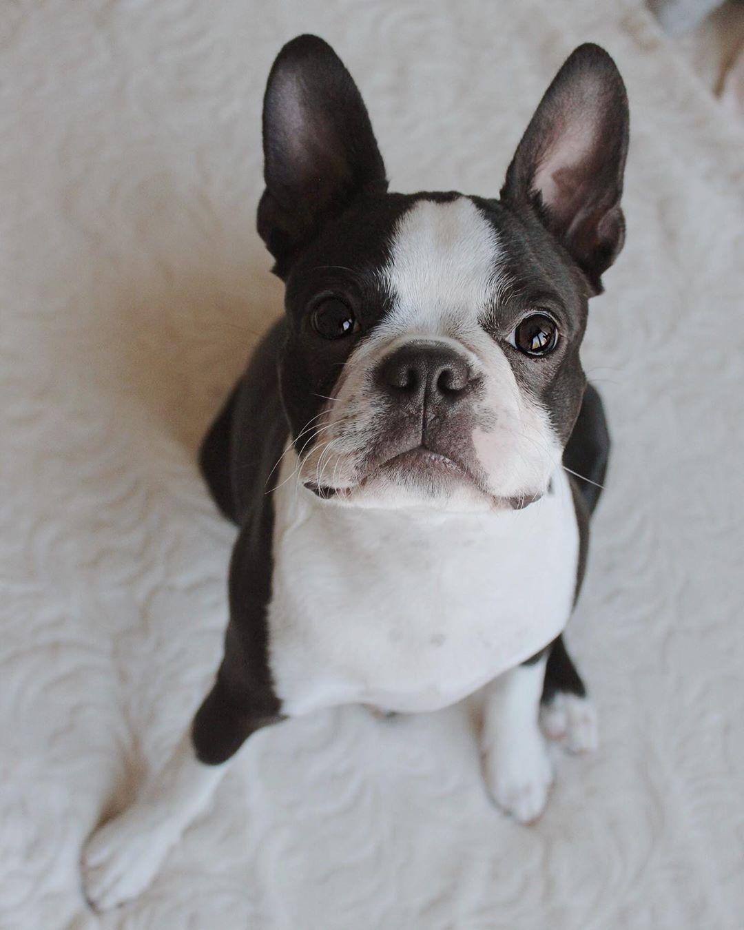 Hi Monday Boston Terrier Boston Terrier Rescue Boston Terrier