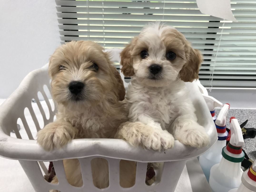 Silver Paw Cavachons Quality Cavachon Puppies From Spokane Wa