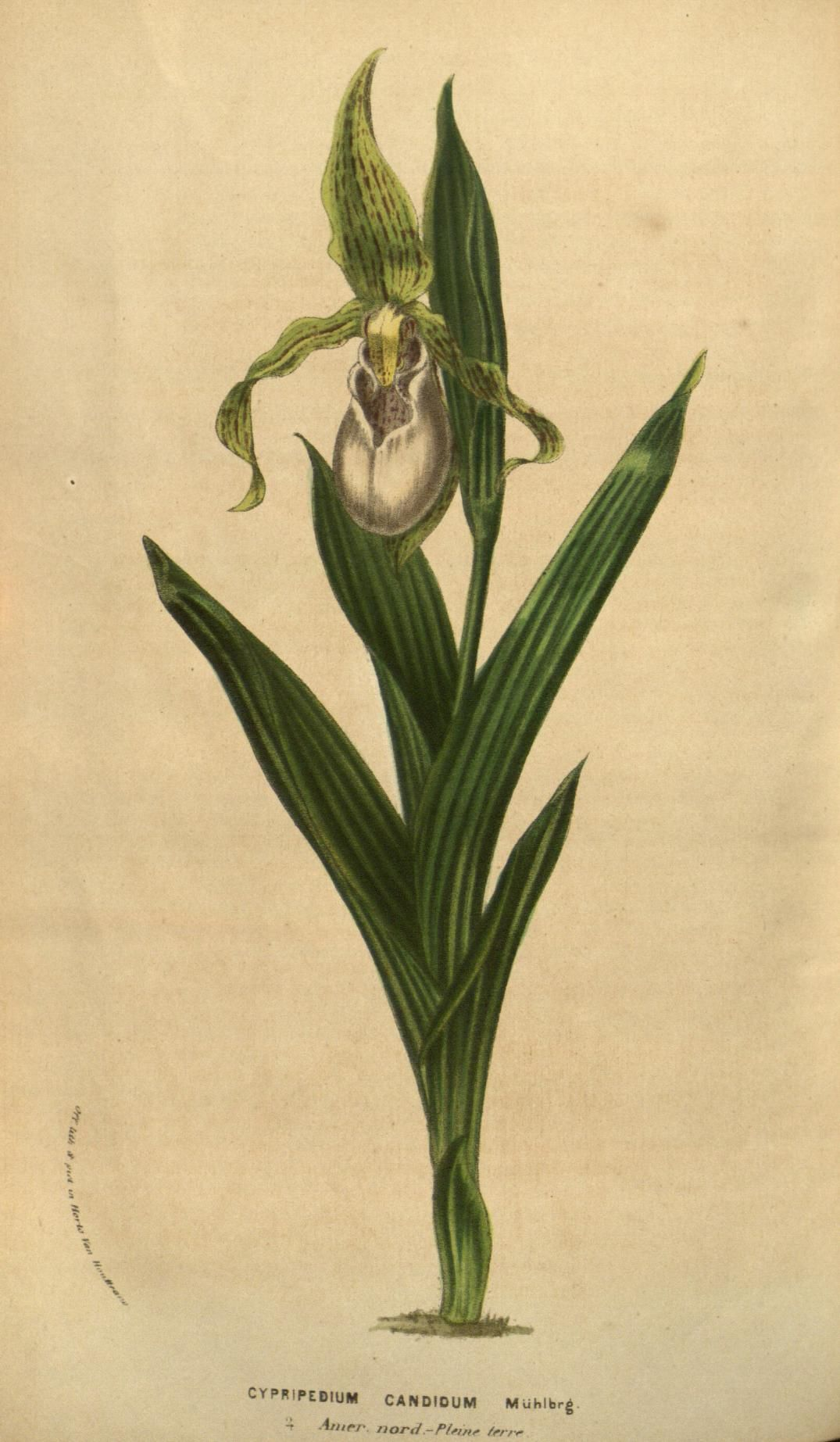 Cypripedium candidum