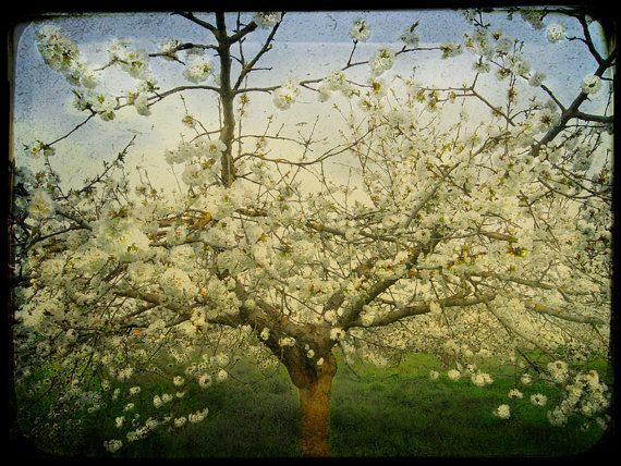 French Cherry Tree The Embrace  10x8 Inch Fine Art by TimIrving, $25.00