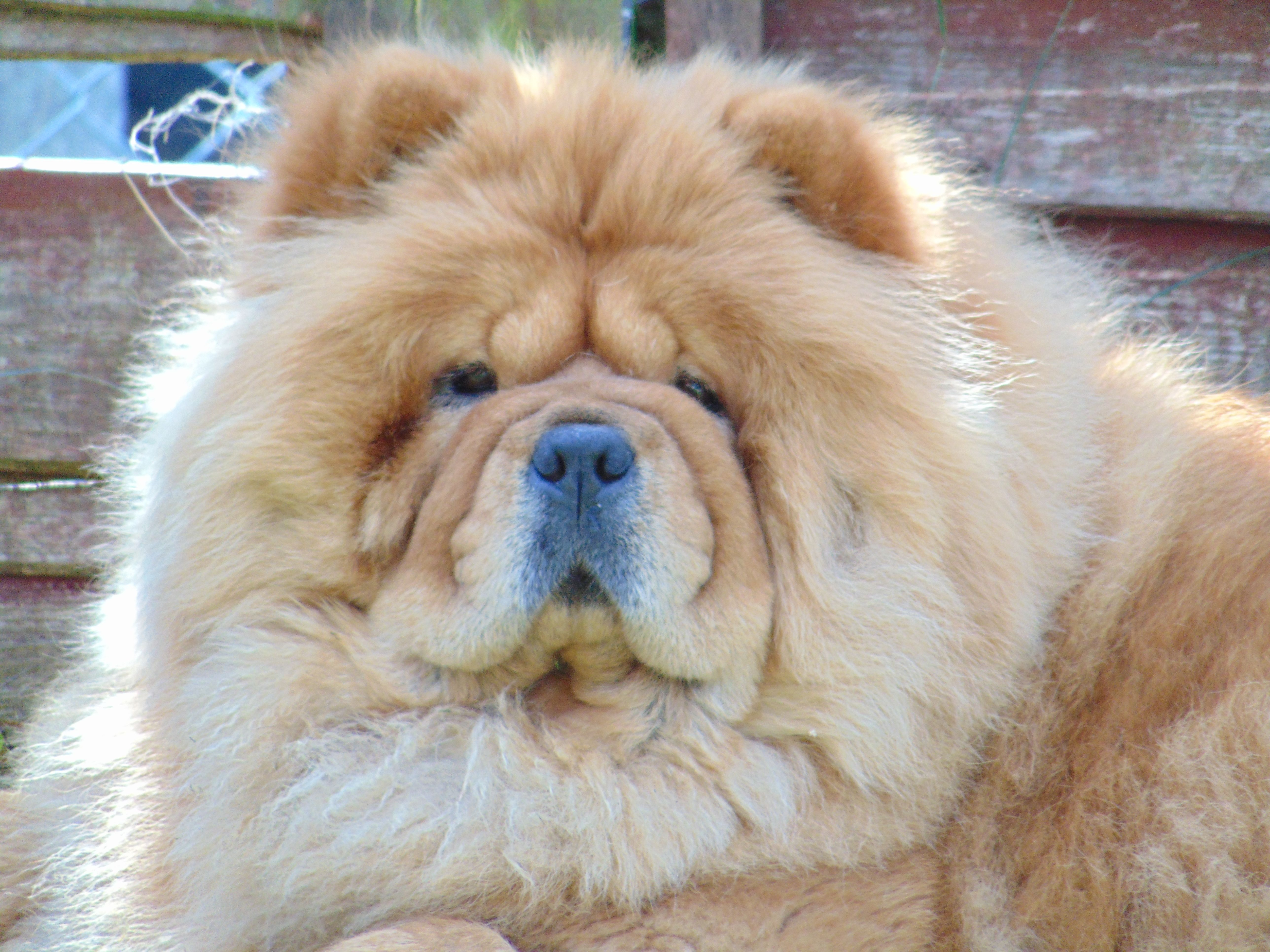 Mishka Sitting Guard In Her Garden Chow Chow Dogs I Love Dogs