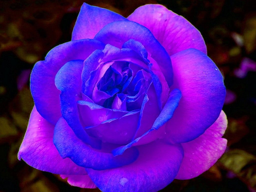 Purple And Pink Roses Wallpaper Blue And Purple Rose Free Download
