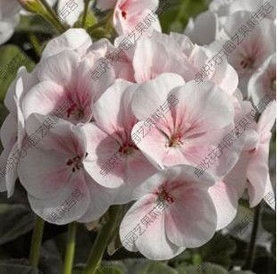 Two-color Red White Univalve Geranium Seeds Perennial Flower Seeds Pelargonium Peltatum Seeds for Indoor Rooms 10 seeds / Bag