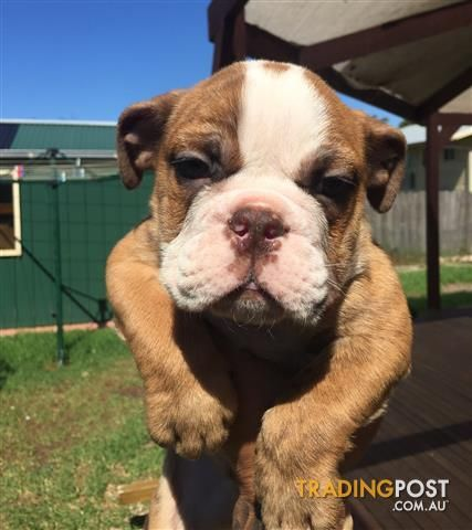 Australian Bulldog For Sale In Braybrook Vic Australian Bulldog