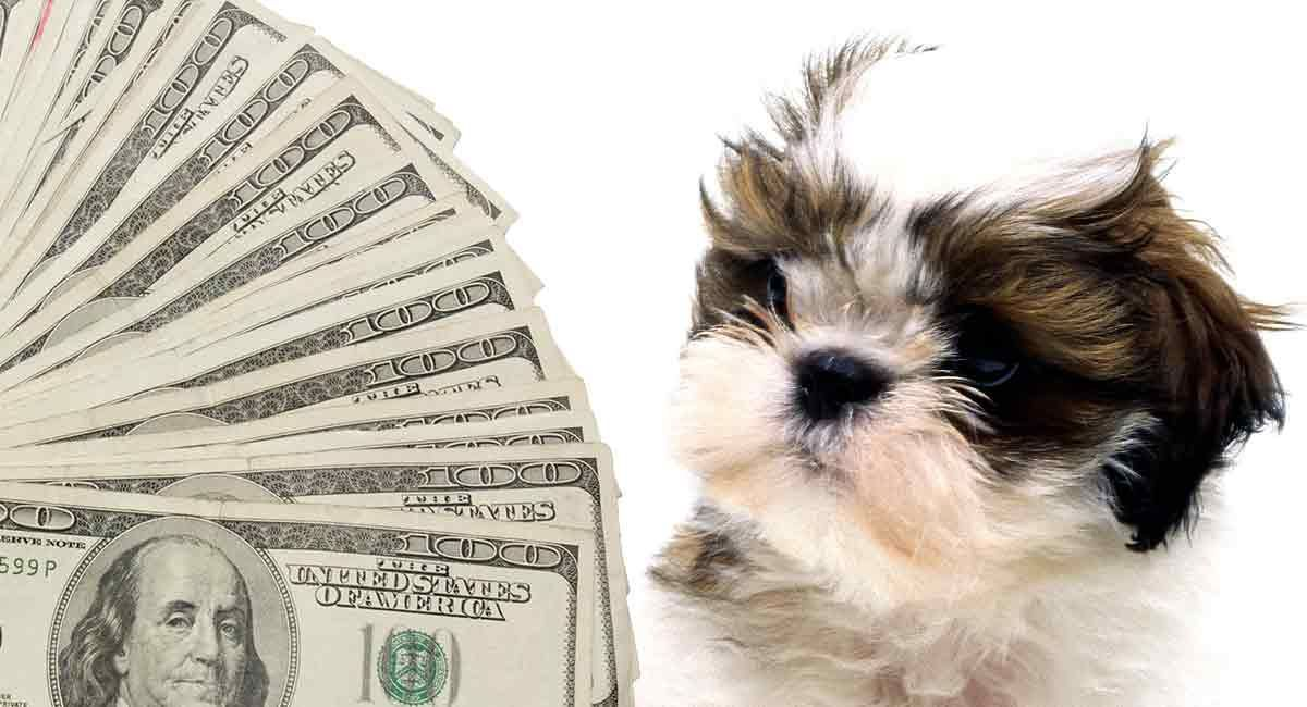 How Much Is A Shih Tzu Budgeting For Buying And Raising