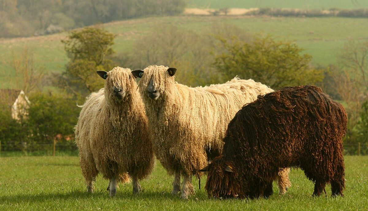 Yorkshire Knitting Tour With Images Sheep Breeds Sheep Breeds