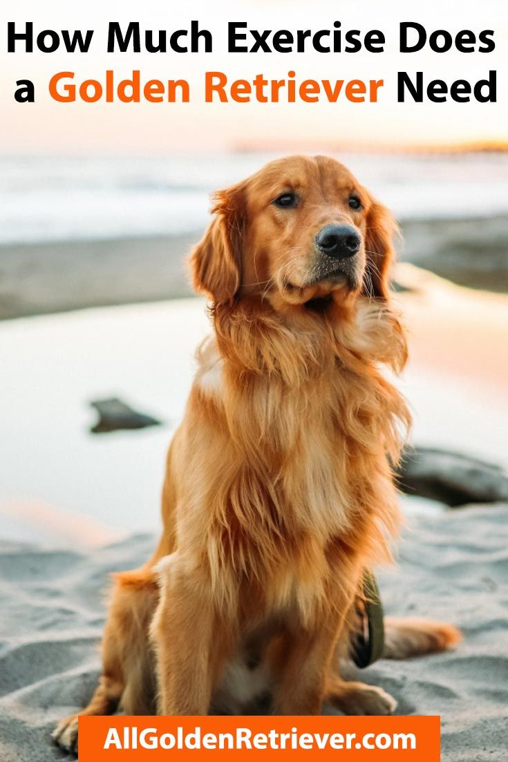 How much exercise does a golden retriever need all