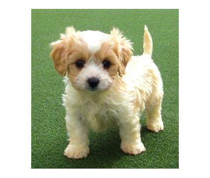 Best Quality Cavachon Puppies Cavachon For Sale Designer Dogs At