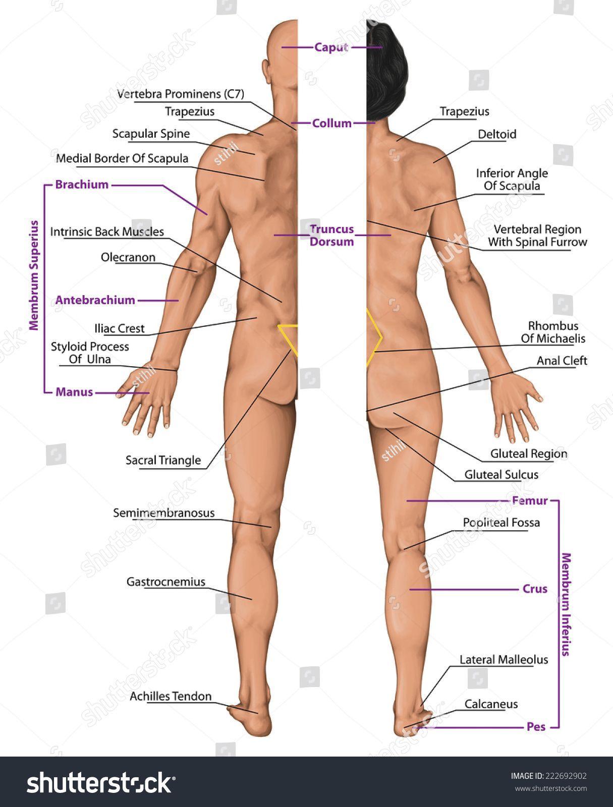 Male Female Anatomy Diagrams Male Female Anatomy Diagrams Male Female Anatomical Body Surface Anatomy Stoc Body Diagram Human Body Anatomy Human Body Diagram