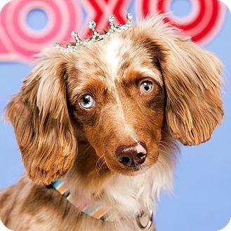 Dachshund Dog For Adoption In Cincinnati Ohio Sandy Dachshund Adoption Dog Adoption Dachshund