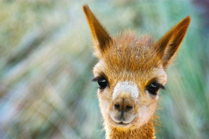 baby vicuna | Alpacas and Llamas | Pinterest | Llama ...