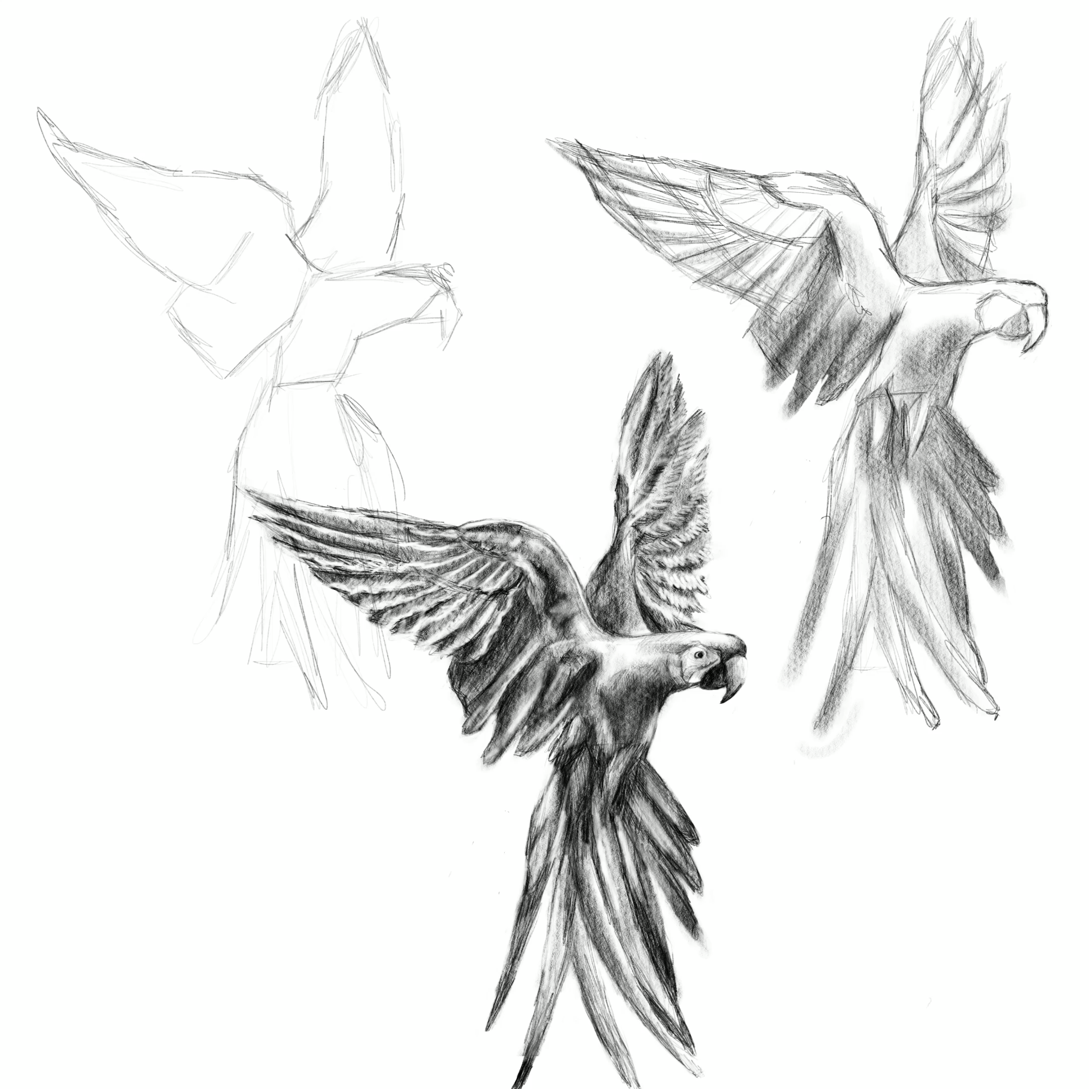 Learn How To Draw A Parrot Drawing Tutorial Sketch