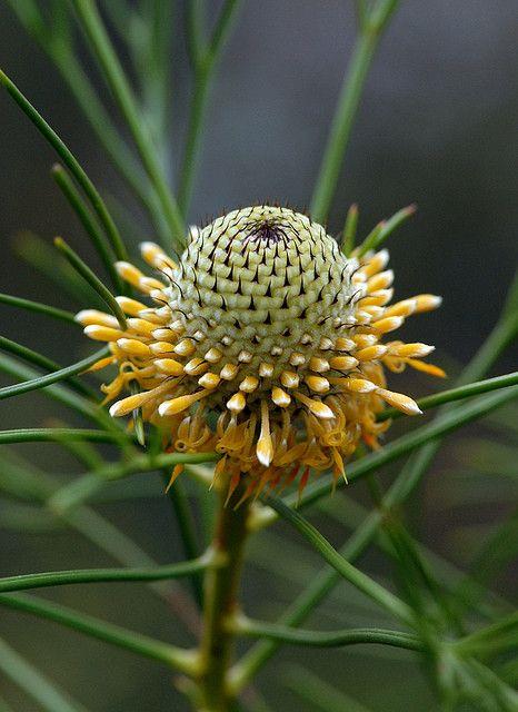 Australian Wildflowers Isopogon Drumstick Flower Koolewong Ridge 3 Australian Wildflowers Rare Flowers Australian Native Flowers
