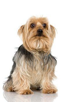 Looks Just Like My Snickers Australian Silky Terrier As Babies