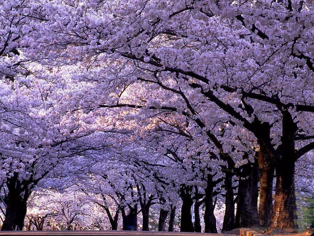The Prettiest Park In China Qingdao Zhongshan Park The Famous Cherry Blossom Road Is Near The Entrance Of Jacaranda Tree Flowering Trees Tree Lined Driveway