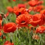 Summer Poppies... bursting with color!