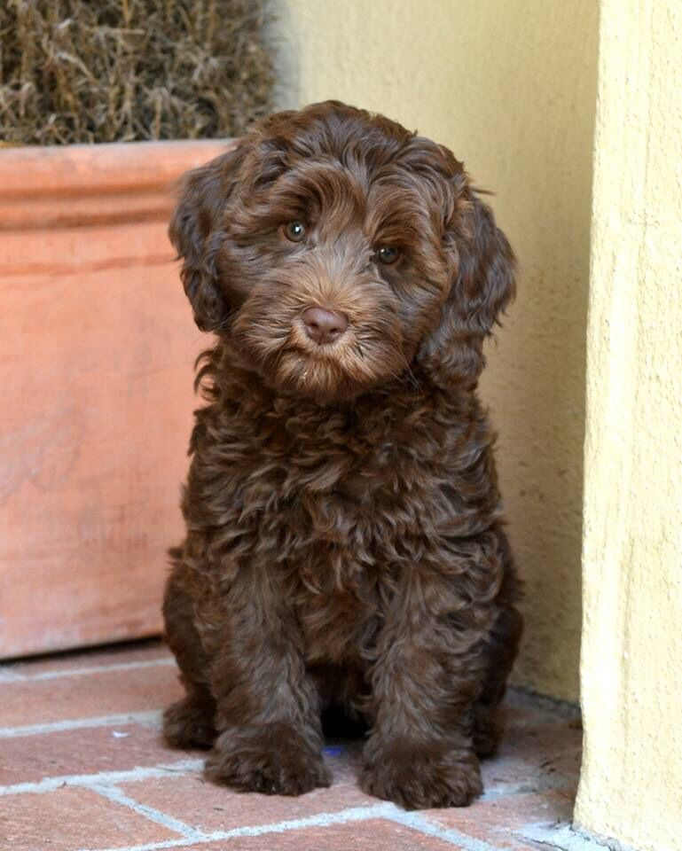 Penny Is An Australian Labradoodle Looking For Her Guardian Family Must Live Within 30 Miles Australian Labradoodle Puppies Labradoodle Dogs Labradoodle Puppy