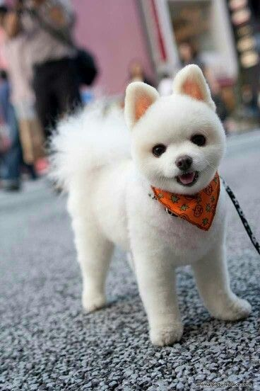 Pomeranian Short Haircut : pomeranian, short, haircut, Tiffany, Perfectly, Groomed, Dogs,, Animals,