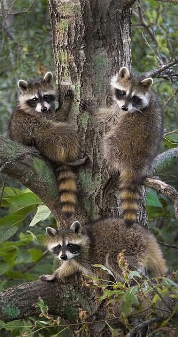 Image by Barbara Mily on raccoons Cute animals, Cute