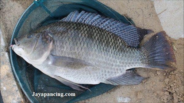 Umpan Jitu Ikan Nila Babon Yang Sudah Terbukti Ampuh Dalam Racikan Umpan Berkualitas Dengan Tambahan Jaya Essen Dengan Aroma Khas Yang Disukai Essen Ikan Babon
