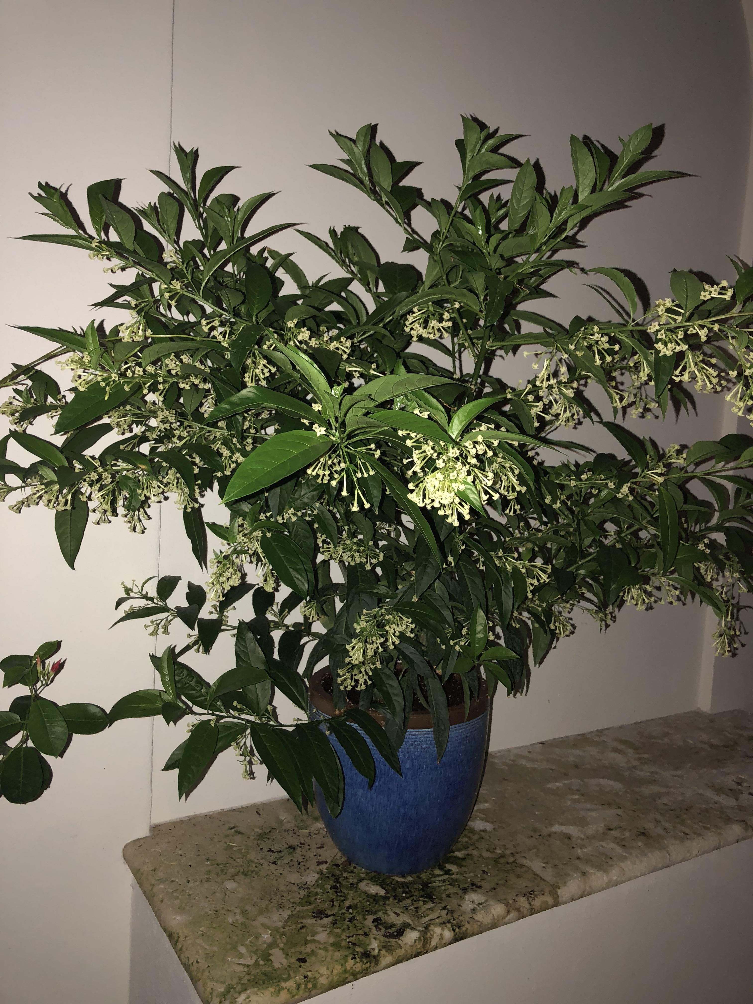My Night Blooming Jasmine is out in full force  The smell is