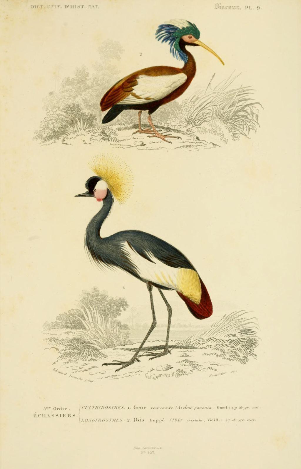 Gravures couleur d 39 oiseaux gravure oiseau 0283 ibis for Oiseau couleur