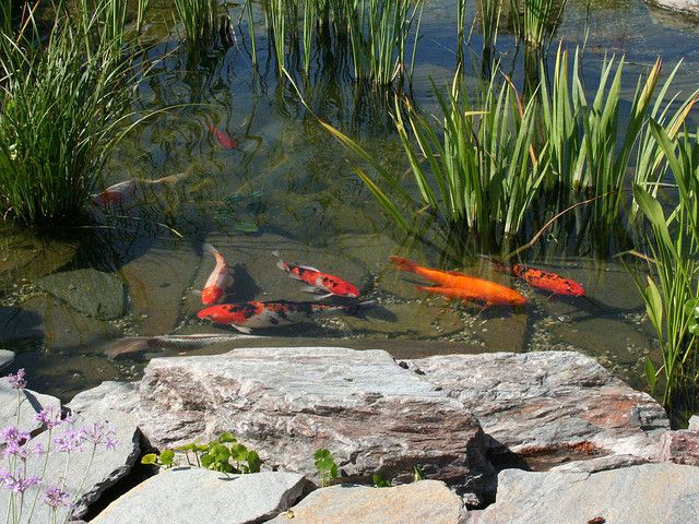 shallow koi pond with plants butterfly koi