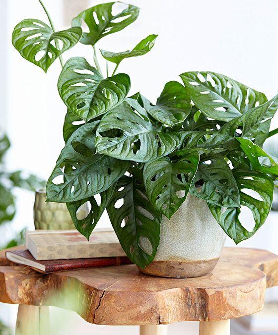 intenz home monstera 39 monkey mask 39 pokojov rostliny. Black Bedroom Furniture Sets. Home Design Ideas