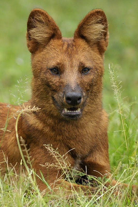 Dhole Animals of India 18 Dhole Indian Wild Dog Walk the