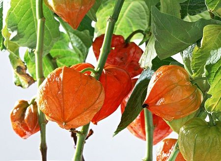 Green Lantern Plant Jack O Lantern Flowers Nature Background