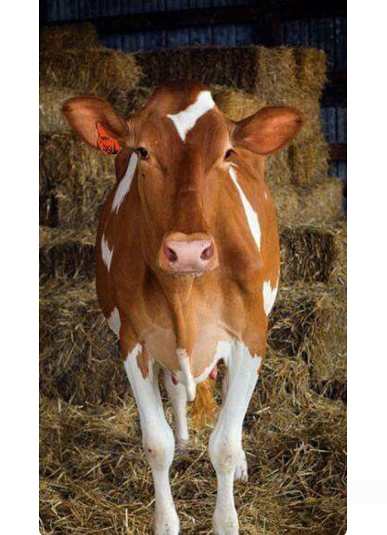 Pretty brown and white dairy cow. Red Holstein or Guernsey