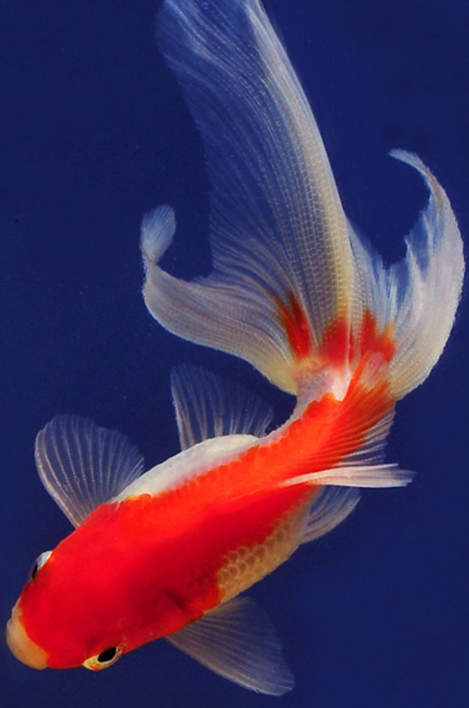 Pin By Snehi Suhas On Koi Ponds Fantail Goldfish Pretty Fish Pet Fish