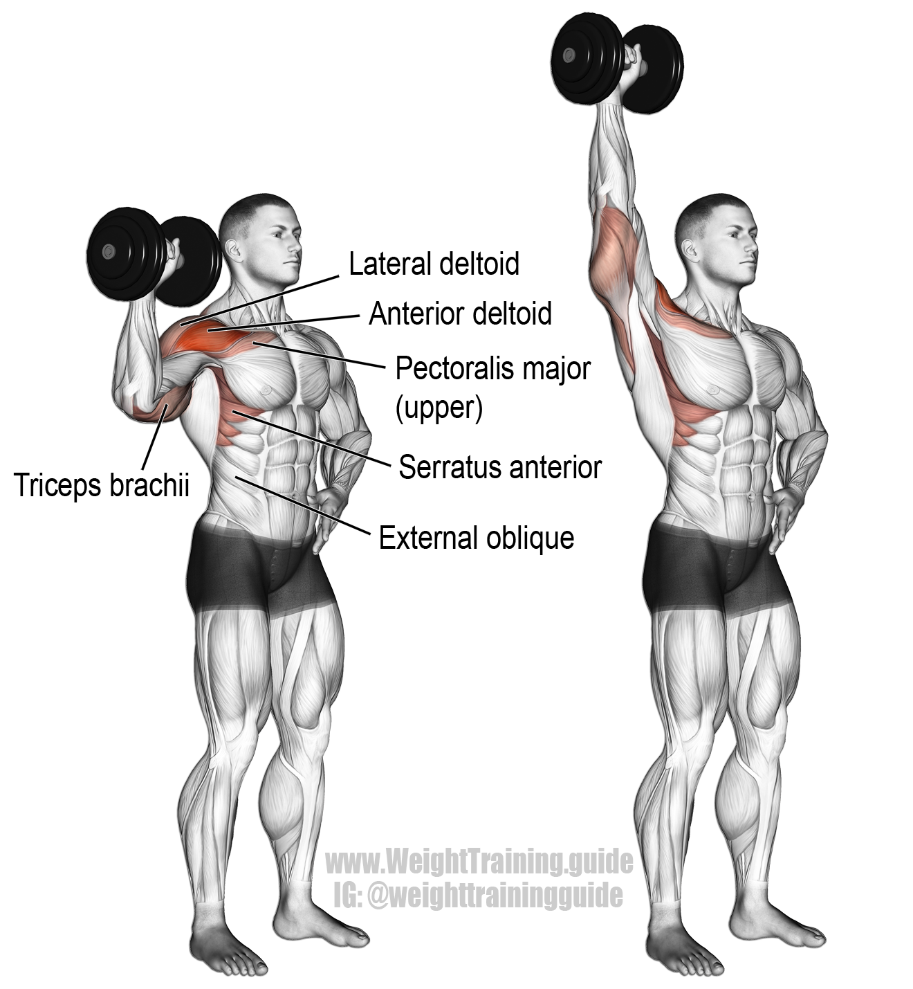 Dumbbell one-arm overhead press instructions and video ... Overhead Press Muscles Worked
