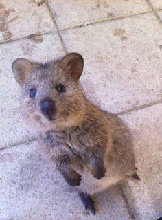 Quokka For Sale Google Search Happy Animals Cute Animals